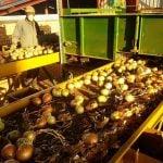 onions, machines